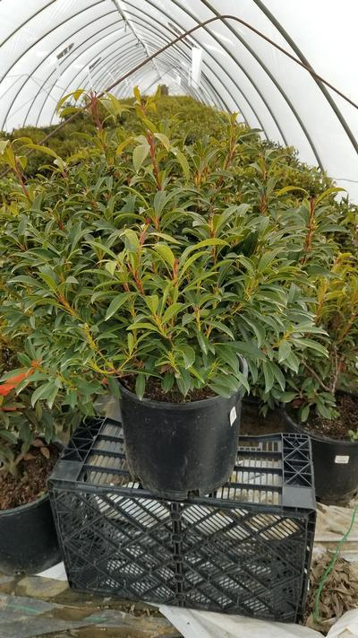 Kalmia latifolia 'Nipmuck' - 5 Gal. Crop Shot for 2020-12