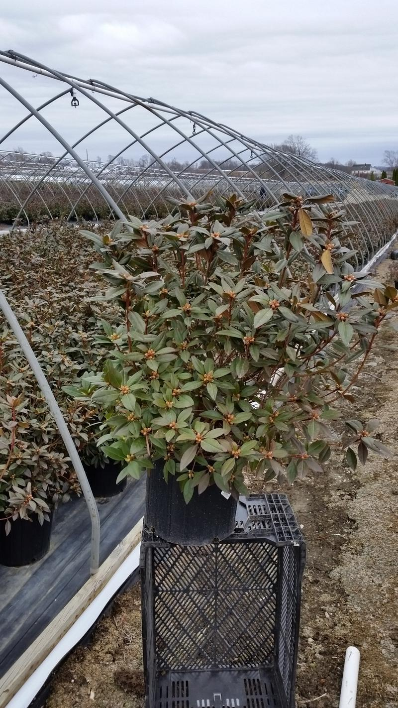 Rhododendron 'Aglo' - 3 Gal. Crop Shot for 2019-14