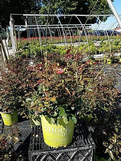 Rosa 'Coral Knock Out®' - 2 Gal. Crop Shot for 2020-26