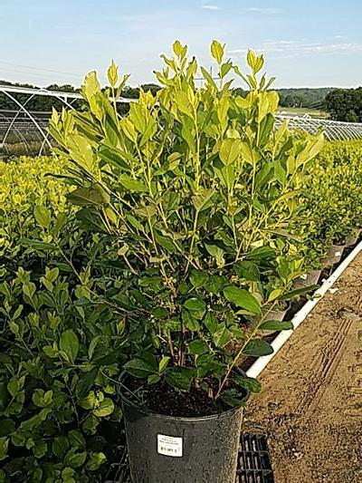 Aronia arbutifolia 'Brilliantissima' - 3 Gal. Crop Shot for 2020-30