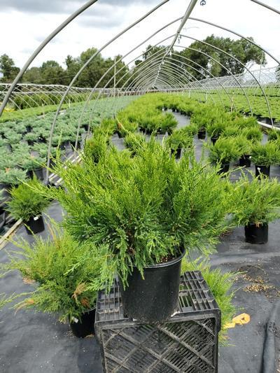 Juniperus chinensis 'Sea Green' - 2 Gal. Crop Shot for 2020-34