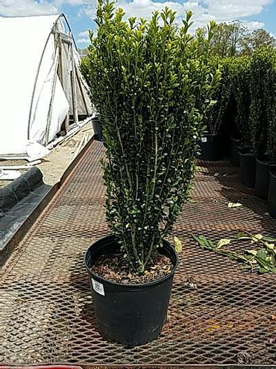 Ilex crenata 'Sky Pencil' - 3 Gal. Crop Shot for 2020-20