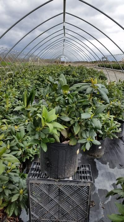 Rhododendron catawbiense 'English Roseum' - 3 Gal. Crop Shot for 2019-16