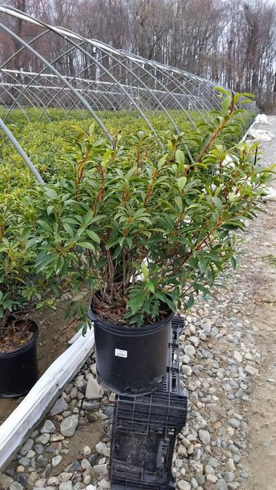 Kalmia latifolia 'Nipmuck' - 5 Gal. Crop Shot for 2019-16