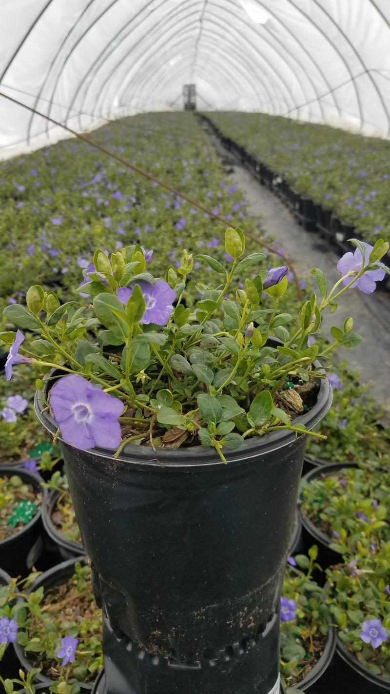 Vinca Minor 'Bowles' - 1 Gal. Crop Shot for 2019-14