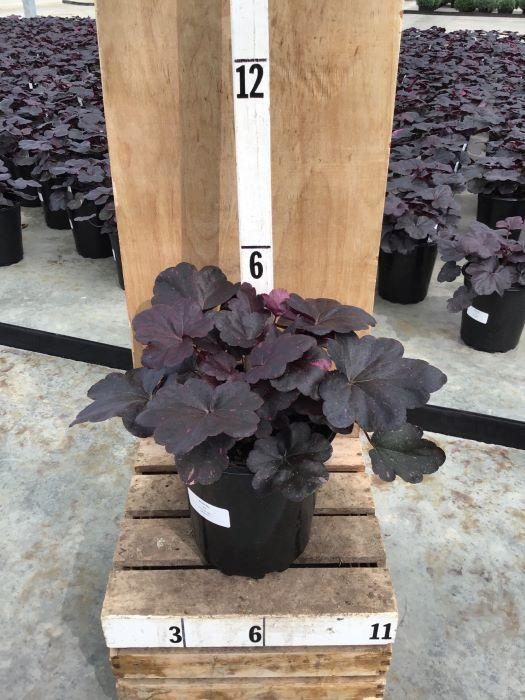 Heuchera 'Midnight Rose' - 8 Inch Crop Shot for 2020-38