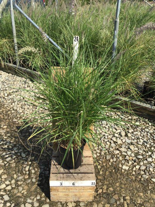 Pennisetum alopecuroides 'Karley Rose' - 8 Inch Crop Shot for 2020-28
