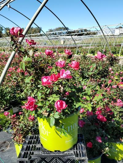 Rosa Knockout - 3 Gal. Crop Shot for 2020-40