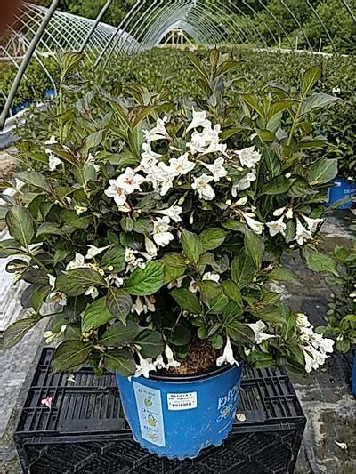 Weigela x 'Tuxedo' - 3 Gal. Crop Shot for 2020-21