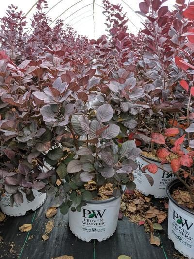 Cotinus coggygria Winecraft Black® - 3 Gal. Crop Shot for 2019-42