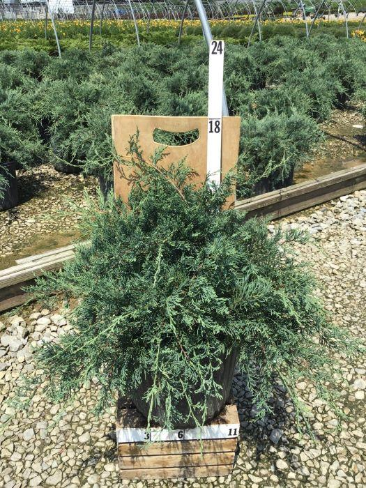 Juniperus virginiana 'Grey Owl' - 3 Gal. Crop Shot for 2020-28