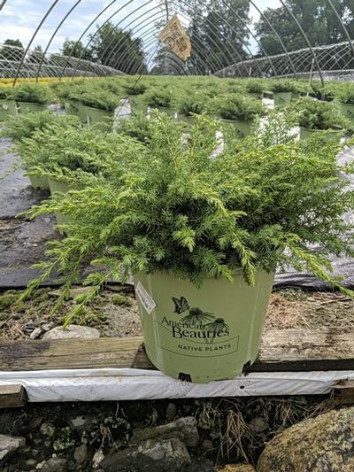 Juniperus communis 'Blueberry Delight' - 3 Gal. Crop Shot for 2020-29