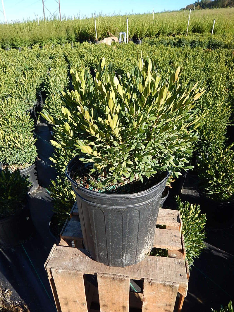 Buxus microphylla 'Green Gem' - #2 Crop Shot for 2017-40