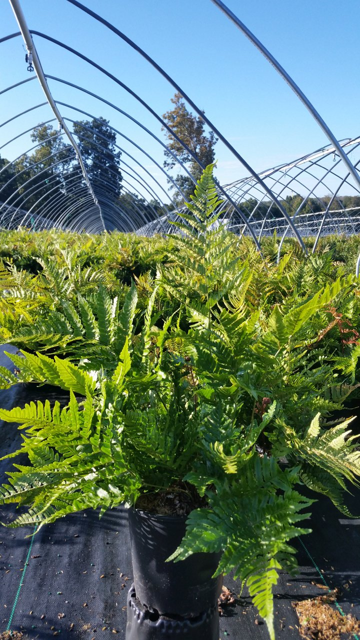 Dryopteris erythrosora 'Brilliance' - #1 Crop Shot for 2017-42
