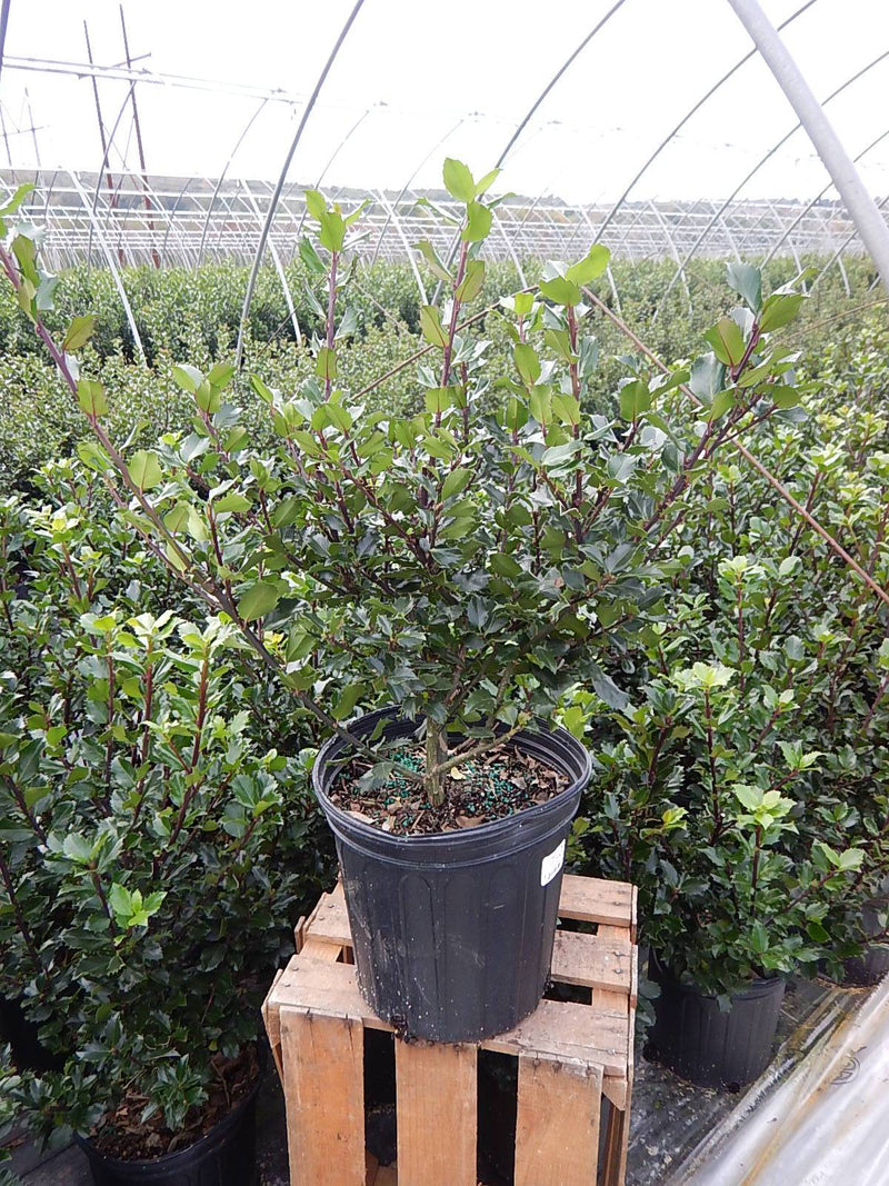 Ilex X meserveae 'Blue Prince' - #2 Crop Shot for 2017-42