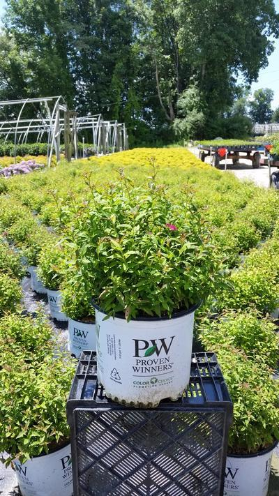 Spiraea Double Play 'Painted Lady' - 3 Gal. Crop Shot for 2019-26
