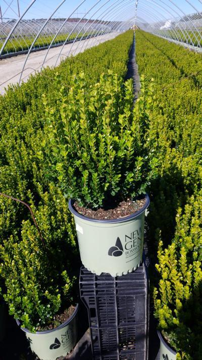 Buxus NewGen™ Freedom®  NEW - 3 Gal. Crop Shot for 2020-40