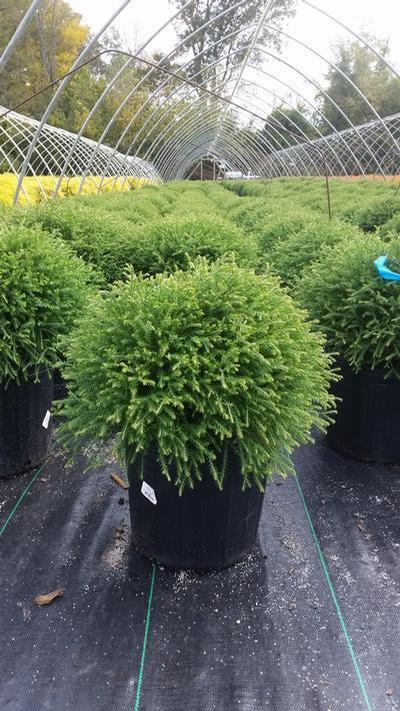 Thuja occidentalis 'Mr. Bowling Ball' - 3 Gal. Crop Shot for 2019-42