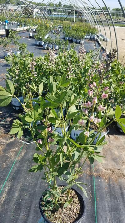 Baptisia DECADENCE® 'Pink Truffles' - 1 Gal. Crop Shot for 2020-21