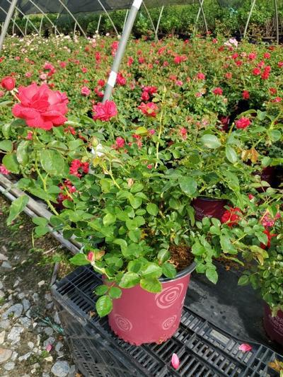 Rosa EASY ELEGANCE® 'Garden Art Super Hero' - 2 Gal. Crop Shot for 2020-35