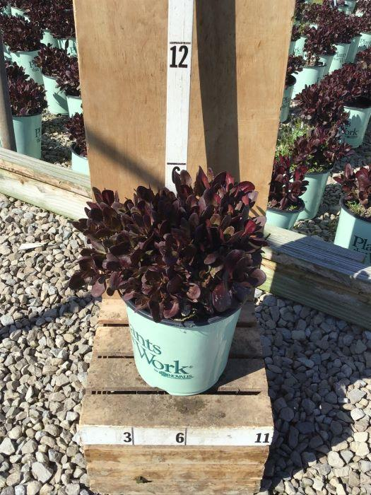 Sedum 'Touchdown Teak' - 8 Inch Crop Shot for 2020-41