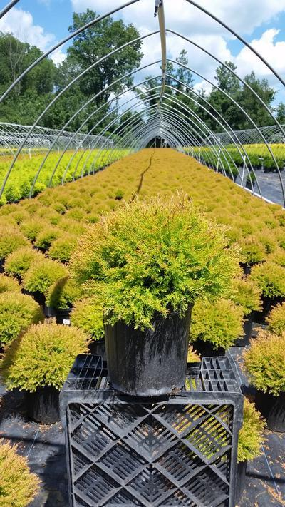 Thuja occidentalis 'Fire Chief' - 2 Gal. Crop Shot for 2019-25