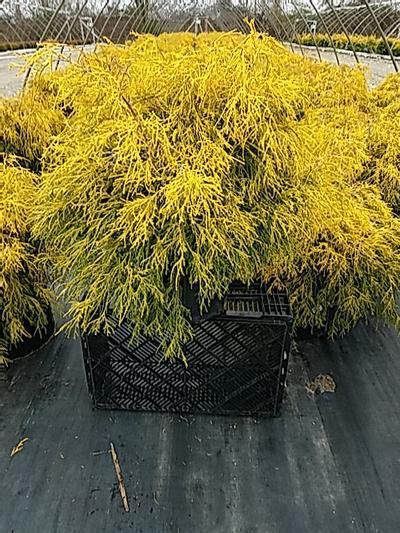 Chamaecyparis pisifera 'Filifera Aurea' - 5 Gal. Crop Shot for 2020-17