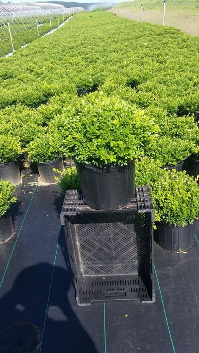 Buxus microphylla 'Tide Hill' - 3 Gal. Crop Shot for 2019-32