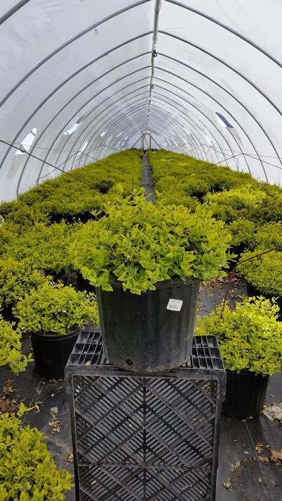 Euonymus fortunei 'Emerald N Gold' - 3 Gal. Crop Shot for 2019-16