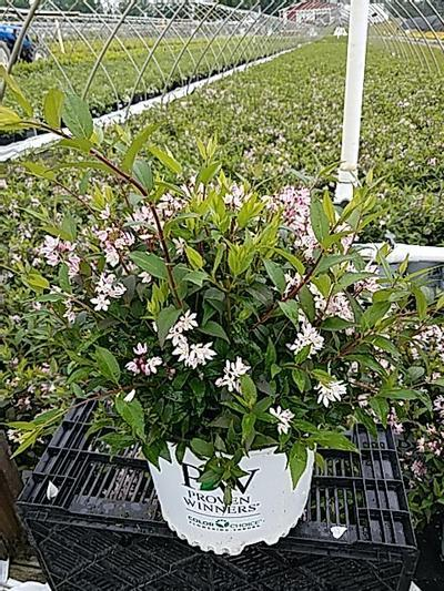Deutzia x 'Yuki Cherry Blossom™' - 3 Gal. Crop Shot for 2020-22