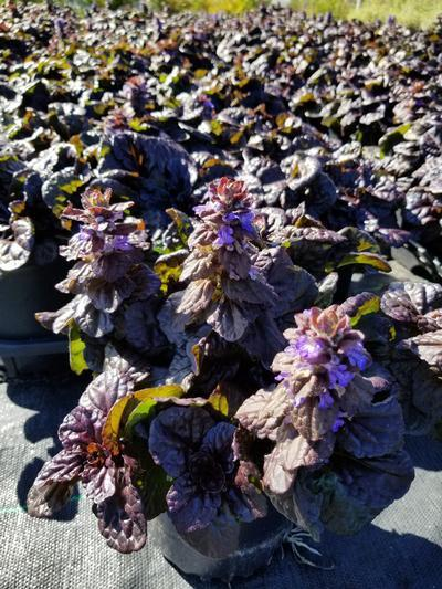 Ajuga reptans 'Black Scallop' - 1 Gal. Crop Shot for 2019-38