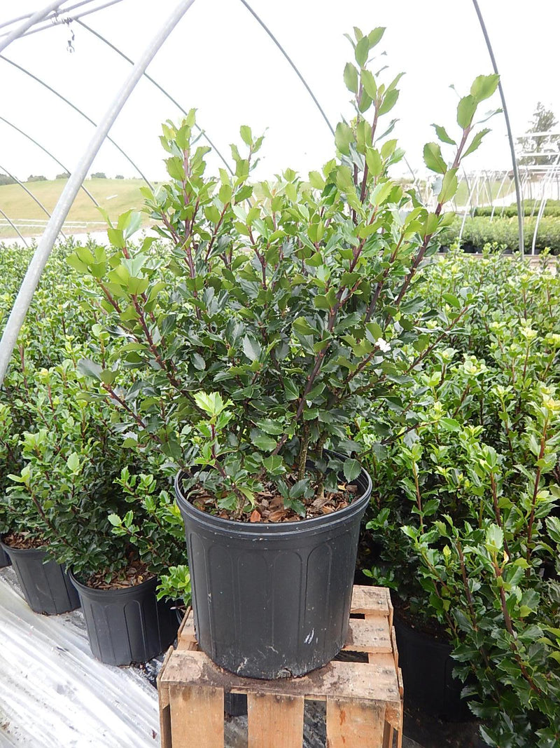 Ilex X meserveae 'Blue Prince' - #3 Crop Shot for 2017-39