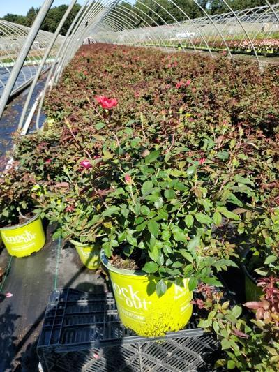 Rosa Knockout - 3 Gal. Crop Shot for 2020-33