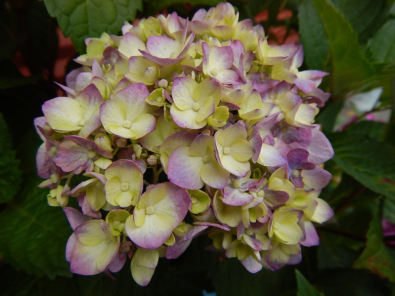 Hydrangea macrophylla 'Bloomstruck' - #3 Crop Shot for 2017-30