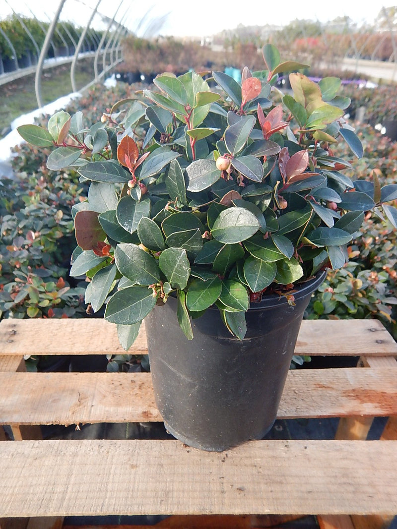Gaultheria procumbens 'Peppermint Pearl' - #1 Crop Shot for 2017-48