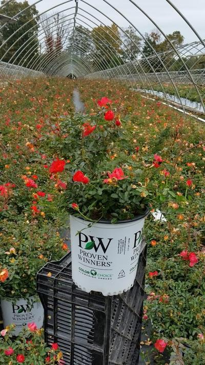 Rosa 'Oso Easy® Hot Paprika™' - 2 Gal. Crop Shot for 2019-40