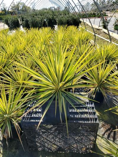Yucca filamentosa 'Color Guard' - 3 Gal. Crop Shot for 2020-39