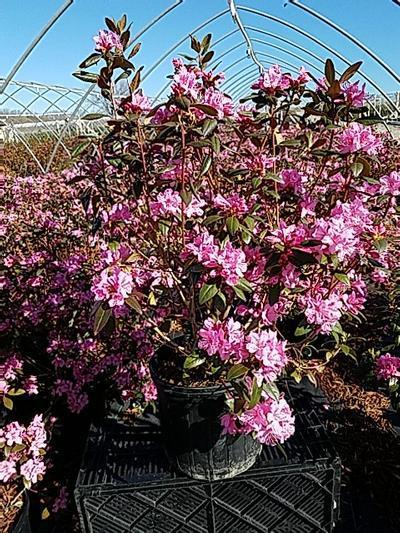 Rhododendron 'Aglo' - 3 Gal. Crop Shot for 2020-17