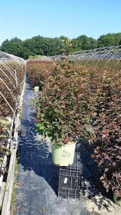 Physocarpus opulifolious 'Center Glow' - 3 Gal. Crop Shot for 2019-29