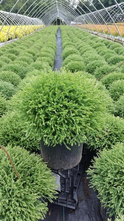 Thuja occidentalis 'Mr. Bowling Ball' - 3 Gal. Crop Shot for 2019-37