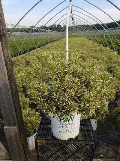 Rhododendron (azalea) 'Bollywood Star™' - 2 Gal. Crop Shot for 2020-33