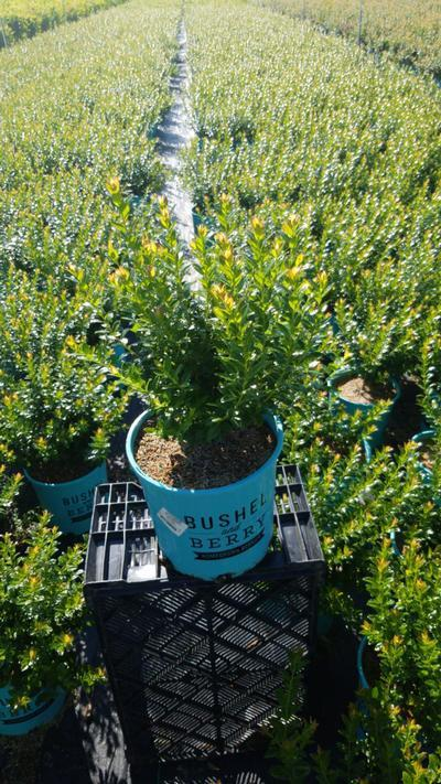 Vaccinium 'Blueberry Glaze' - 2 Gal. Crop Shot for 2020-36