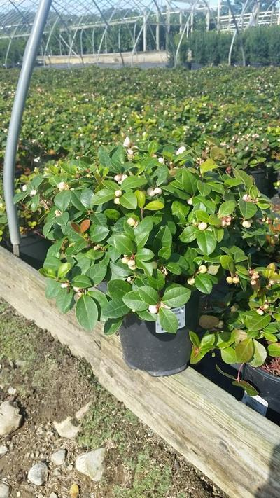 Gaultheria procumbens 'Peppermint Pearl' - 1 Gal. Crop Shot for 2019-37