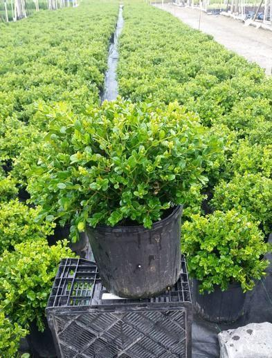 Buxus microphylla 'Winter Gem' - 3 Gal. Crop Shot for 2019-26
