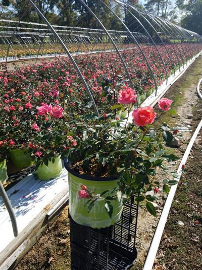 Rosa 'Coral Knock Out®' - 2 Gal. Crop Shot for 2020-40