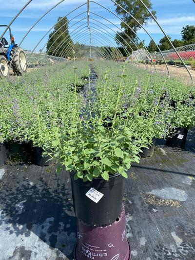 Nepeta faassenii 'Six Hills Giant' - 2 Gal. Crop Shot for 2020-33
