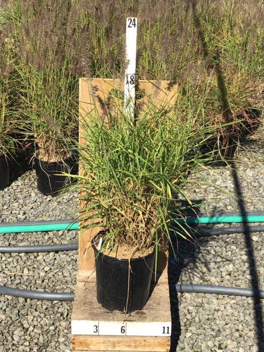 Pennisetum alopecuroides 'Karley Rose' - 8 Inch Crop Shot for 2020-42