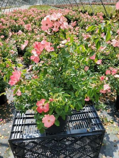 Rosa FLOWER CARPET® 'Coral' - 2 Gal. Crop Shot for 2020-27