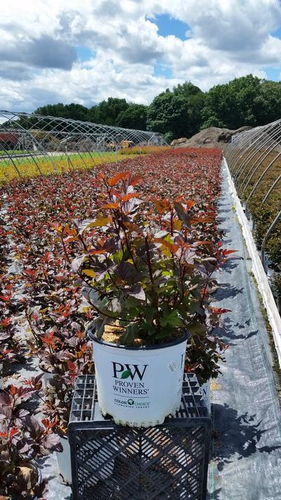 Physocarpus opulifolius 'Ginger Wine™' - 3 Gal. Crop Shot for 2019-24
