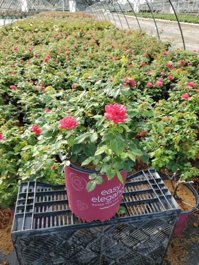 Rosa EASY ELEGANCE® 'Garden Art Super Hero' - 2 Gal. Crop Shot for 2020-32